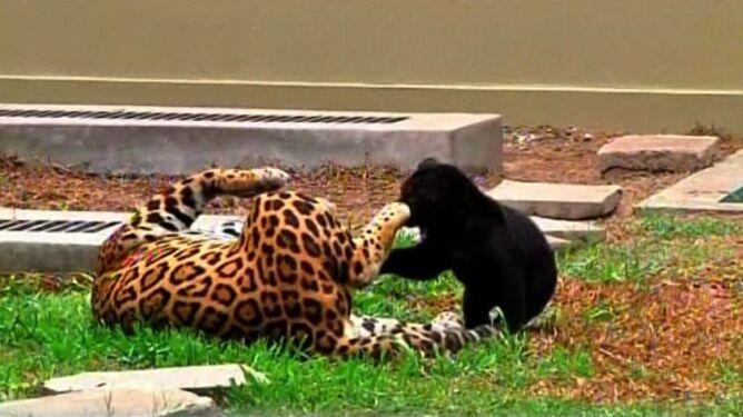 """Zobacz bliźniacze jaguary. """"To prawdziwy cud"""""""