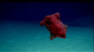 """""""Potworny bezgłowy kurczak"""" w głębinach Zatoki Meksykańskiej"""