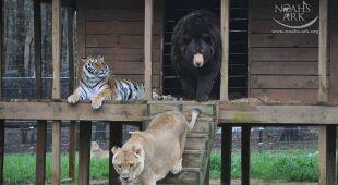 Baloo, Leo i Shere Khan z ośrodka Noah's Ark Animal Sanctuary